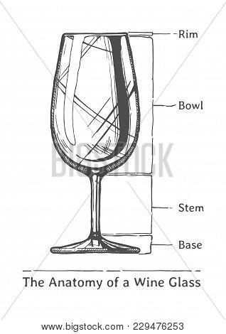 The Anatomy Of A Wine Glass. Rim, Bowl, Stem And Base. Illustration Of Wineglass In Vintage Engraved