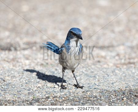 California Scrub-jay (aphelocoma Californica) Adult Perched On The Ground. Pinnacles National Park,
