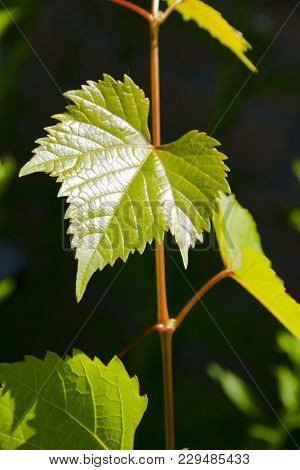 Tender And Supple Grape Leaves. The Beginning Of The Growth Of The Vine. Green Spring Color.