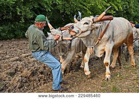 Bastia, Ravenna, Italy - May 10, 2017: Farmer Leads The Oxen That Pull The Plow Recalling The Old Fa
