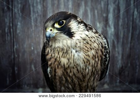 Peregrine Falcon, Duck Hawk Close Up. Bird Of Prey Portrait.