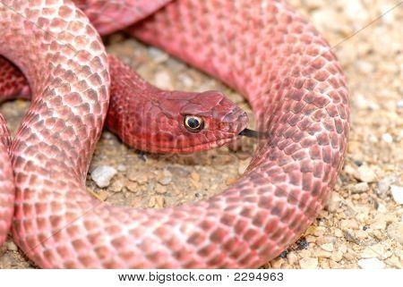 Texas Western Coachwhip Snake