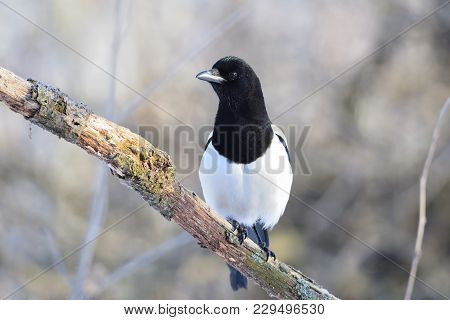 The Eurasian Magpie Or Common Magpie (pica Pica) Sits On A Branch Covered With Lichen (on A Soft Bac