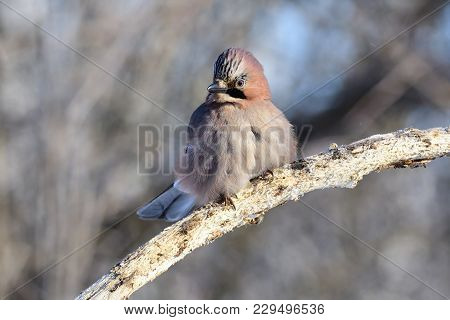 Eurasian Jay (garrulus Glandarius) Proudly Sitting On A Branch With A Spectacular Hat Of Feathers.