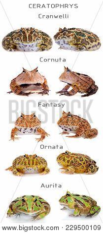 The Horned Frogs Set, Isolated On White Background