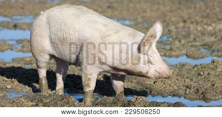Big Pig On The Farm Outdoor, France