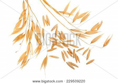 Oat Spike With Grains Isolated On White Background.