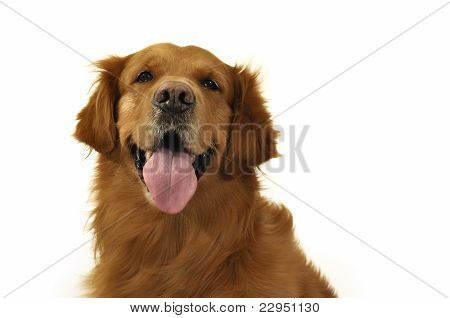 Golden Retriever Dog Very Expressive Face, Front, Tongue.