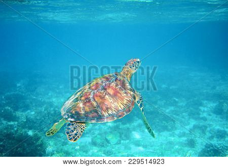 Sea Turtle In Clear Blue Sea Water. Green Sea Turtle Closeup. Wildlife Of Tropical Coral Reef. Torto