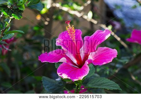 Pink Hibiscus Flower On Green Branch. Pink Flower With Green Leaf. Blooming Tropical Garden Detail.