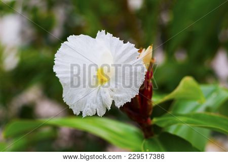 White Tropical Flower On Green Branch With Buds. White Flower On Green Branch. White Orchid Closeup.