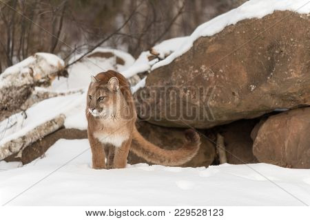 Adult Female Cougar (puma Concolor) Stands Near Den - Captive Animal