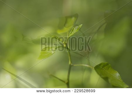 Three Green Leaves Photo In One. The Firmly Defocused Photos Are Overcast Strata, Like Layers.