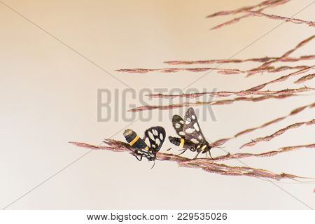 Indian Skipper Butterflies (spialia Galba), Mating In Spring - Bright Brown Nature Background With C