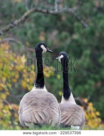 Two Canada Geese Walking Together In Autumn