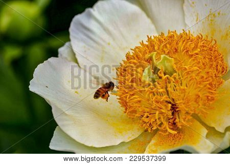 Closeup Of A Honey Bee Pollenating A Moonrise Peony