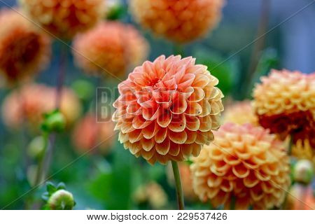 Closeup Of Peach Dahlias And Colorful Background On A Sunny Afternoon In Early Autumn