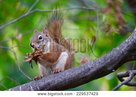 Squirrel On A Tree Limb Eating Food