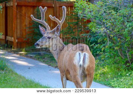 Elk Walking On Trail In Banff Alberta Canada
