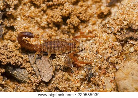 Small Scorpion Sp, On The Ground At Tamilnadu, India.
