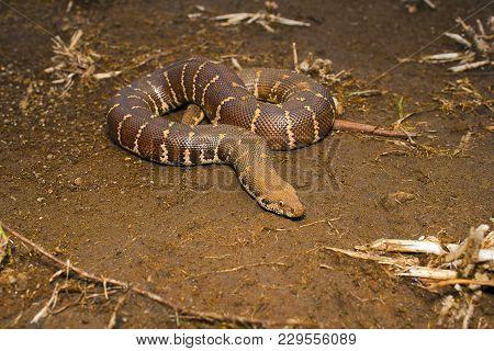 Common Sand Boa Or Eryx Conicus. Boidae. Non Venomous. Kolhapur, Maharashtra, India.
