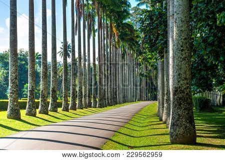 Avenue Of Royal Palms With Geometrical Shadows Perspective View