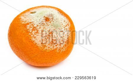 Rotten Tangerine With Mold, Spoiled. Isolated On White Background, Copy Space, Template