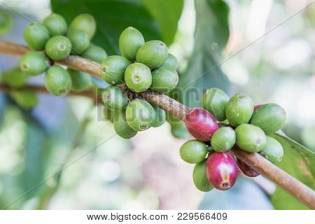 Coffee Beans On The Branch In Coffee Plantation Farm. Arabica Coffee. Coffee Beans Ready To Pick. Fr