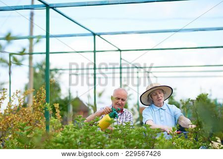 Portrait Of Happy Senior Couple Working In Garden Together, Treating Plants In Big Glasshouse, Copy