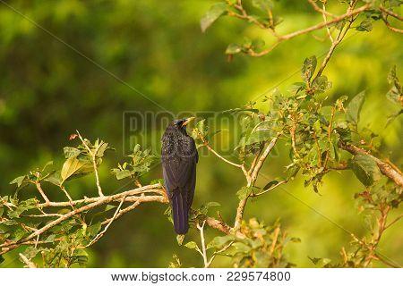 Blue Whistling Thrush, Myophonus Caeruleus, Chafi, Uttarakhand, India