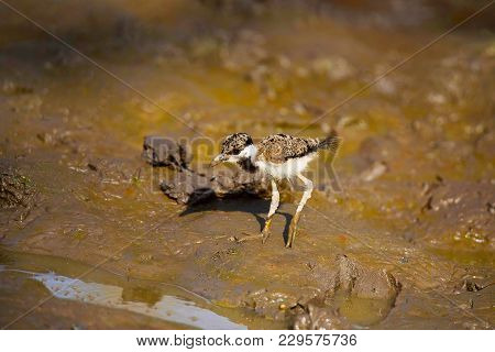 Red Wattle Lapwing On Riverbed , Vanellus Indicus, Juvenile