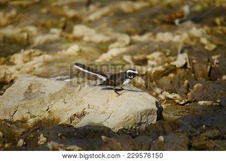 White-browed Fantail Flycatcher, Rhipidura Aureola, Panna Tiger Reserve, Madhya Pradesh