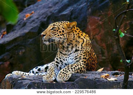 Indian Leopard, Panthera Pardus Fusca, Ranthambhore Tiger Reserve, Rajasthan, India