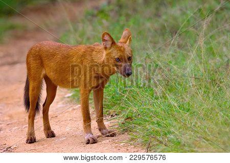 Indian Wild Dog, Cuon Alpinus, Nagarhole Tiger Reserve, Karnataka, India