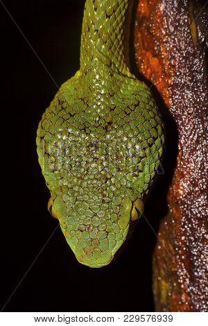 Bamboo Pit Viper, Trimeresurus Gramineus, Dorsal Head Scales, Matheran, Maharashtra, India