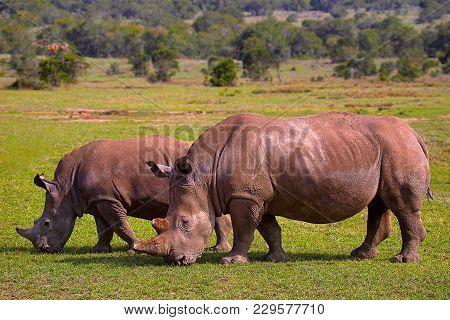 Africa Rhinoceros Or Rhino In Kenya, Africa