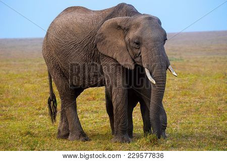 African Elephant, Kenya, Africa. African Elephants Have Large Ears, Shaped Much Like The Continent O