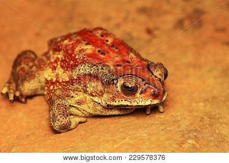 Indan Toad, Duttaphrynus Melanostictus, Mulshi, Pune District, Maharashtra, India