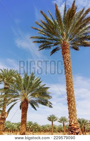 Plantation Of Phoenix Dactylifera, Commonly Known As date or date Palm Trees In Arava And Negev Dese