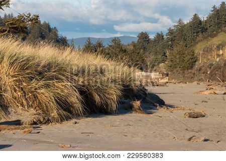 Dead Weathered Trees On Sand Dunes In Pacific Northwest