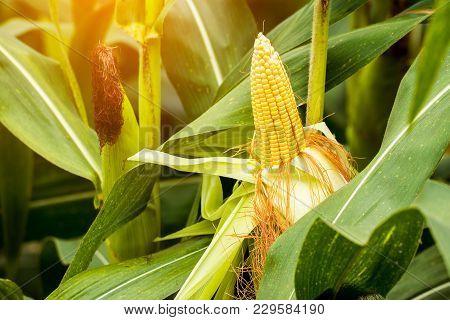 Yellow Cob Of Sweet Corn On The Field. Collect Corn Crop.