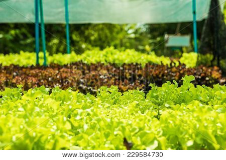 Planting Non-toxic Organic Vegetables Salad Dressings Beautiful Green Leafy Are Grown In The Garden