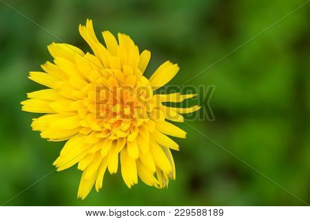 Spring Background . Delicate First Flowers. Bright Yellow Dandelion . Selective Focus.