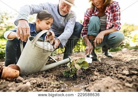 Happy Healthy Senior Couple With Their Granddaughter Planting A Seedling On Allotment. Man, Woman An