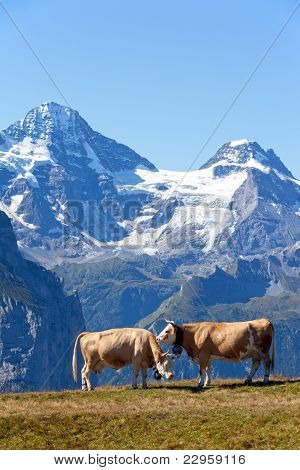 Two Cows In The Swiss Alps
