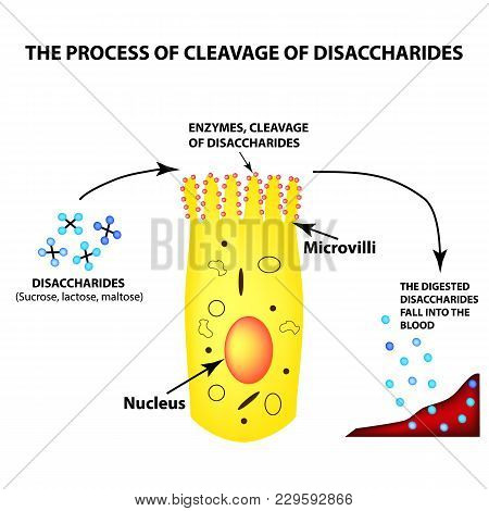 The Process Of Cleavage Of Disaccharides. Structure Of The Enterocyte. Absorptive Cells Intestine. I