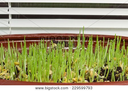 Young Sprouts Of Barley With Dew Drops During Germinating Seeds In The Ground In Flower Pot To Use F