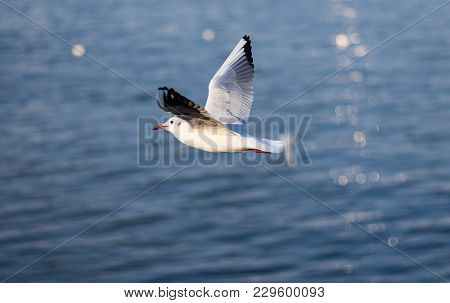 Graceful Gull In Fly Over Autumnal Dnipro River In Ukraine