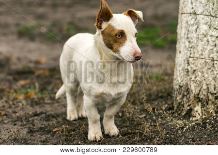 Outdoor Portrait Of Stocky Short-legged Brave Dog Guarding Its Territory