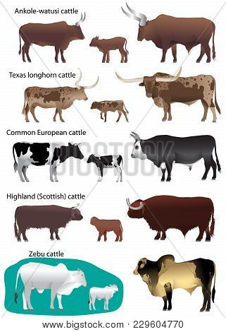 Collection Of Different Species Of Cattle: Common European, Texas Longhorn, Highland (scottish), Wat